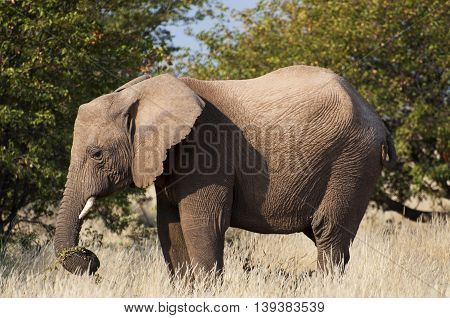 Elephant in the savannah in Namibia Africa