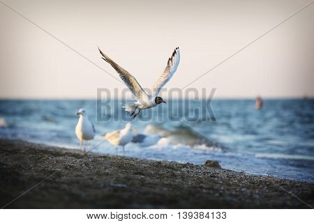Seagull flying. Bird on the beach at sunset.