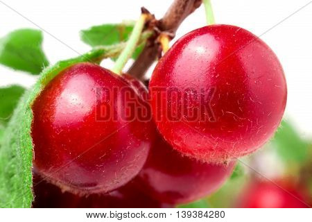 felted cherry on the branch isolated on white background.