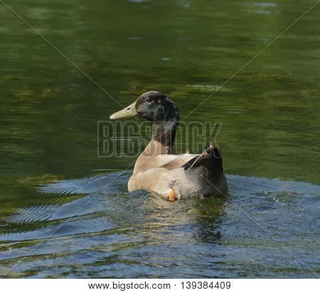 A male Mallard (Anas platyrhynchos) during the moulting period, on a lake in York County Pennsylvania, USA.