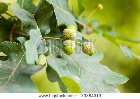 three acorns on an green, german oak
