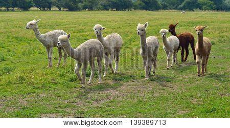 Alpacas in  a field walking on a sunny day