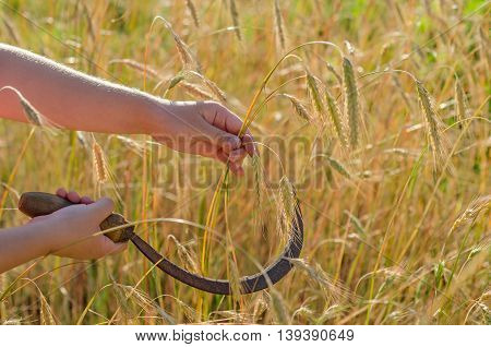 Girl cuts a sickle rye. Sickle is a hand-held traditional agricultural tool in farmer's hand preparing to harvest