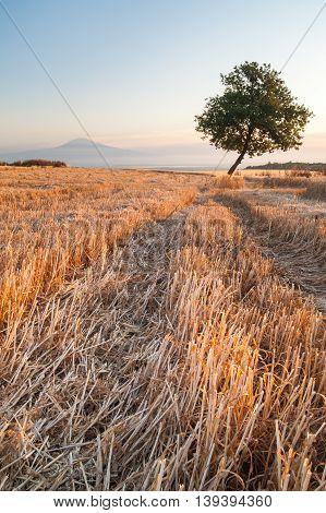 Filed Of Wheat At Dawn