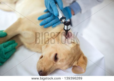 Veterinarian Examining Ear Of Labrador