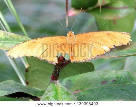 The Julia butterfly in garden of Niagara Falls Ontario 16 July 2016 Canada
