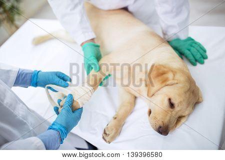 Labrador With Broken Leg