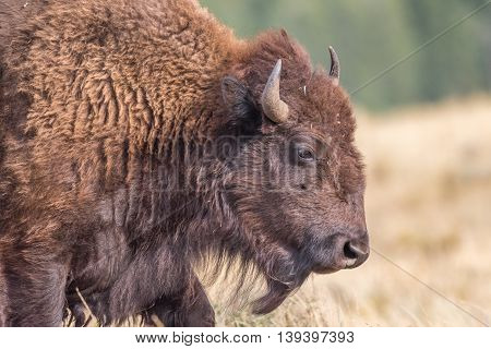 Profile of a large North American Bison -Yellowstone National Park, close up