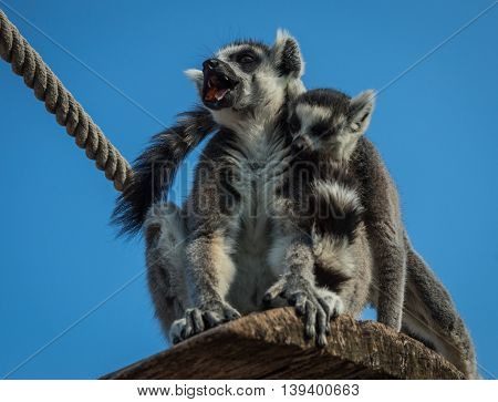 Two Lemurs With Striped Tails Sitting On The Shelf, Athens, Greece