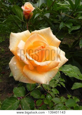 The flower rose in the garden is shown in the image.