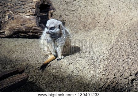 An African Meerkat (Suricata suricatta) sits on a ledge and looks to the right.