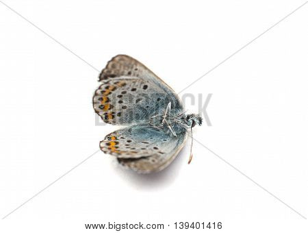 butterfly  lepidoptera bordered  wings  on white background