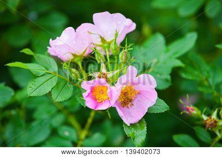 Rosa Rubiginosa. Pink Wild Rose Flowers