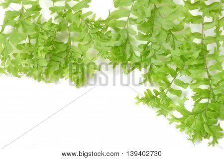 Fishtail fern, Nephrolepis falcata, Family Nephrolepidaceae, Central of Thailand