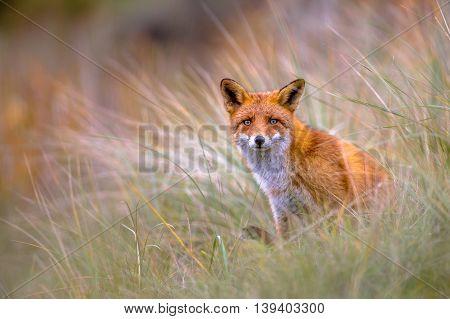 European Fox Peeking Through Vegetation