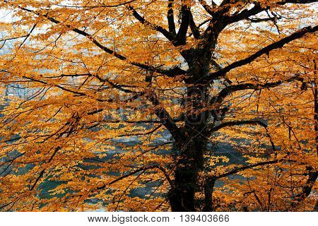 Beautiful spreading brightly lit autumn tree branches in golden leaves. Fall background