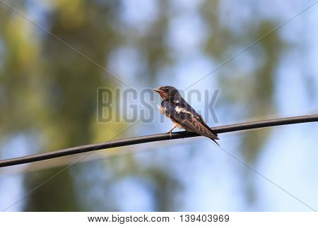 little hungry chick swallows sitting on a wire waiting for parents