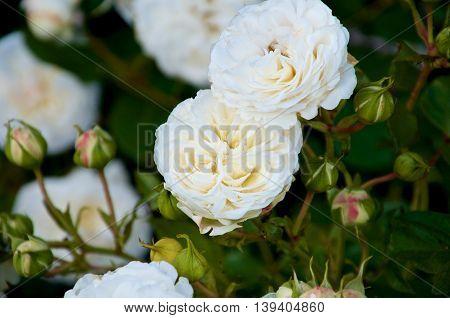 Castle rose Ledreborg. Flowers blooming with multiple rosebuds. High contrast.