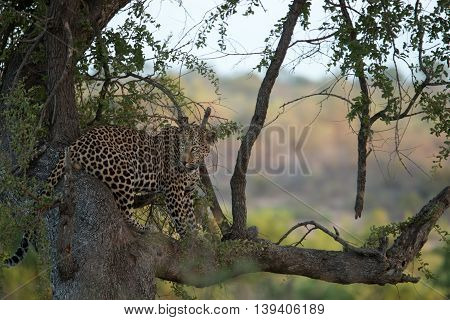 A Leopard Sitting In A Tree In The Kruger.