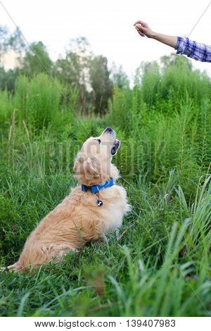 Golden Retriever sitting on a green glade