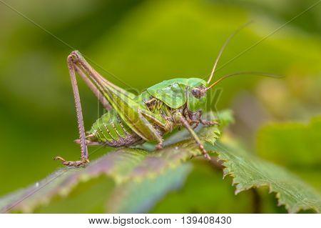 Juvenile Female Wart Biter