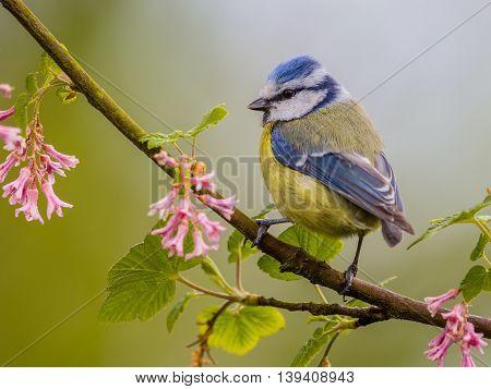 Blue Tit Blossom