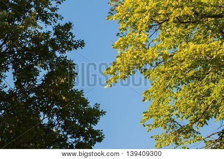 Two different kinds of green branches on the background and real blue sky a cloudless summer day. For background use. With place for writing text