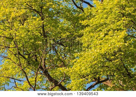 Unusual green tree branches and blue sky a cloudless summer day , for background use