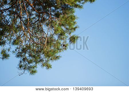 Green branches of coniferous tree and blue sky a cloudless summer day . Lots of place for writing text around it.
