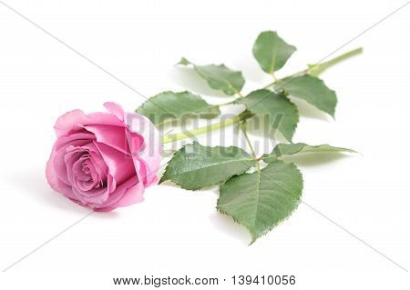 Hot pink rose isolated on white background