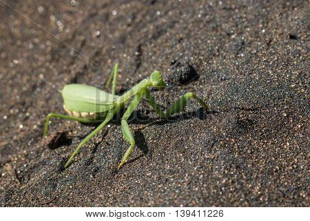 close up of female praying mantis on volcanic sand