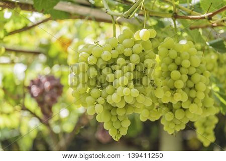 Bunch of grapes on a background of the sunny sky.