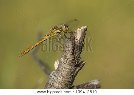Vagrant Darter (Sympetrum vulgatum) male resting on a branch