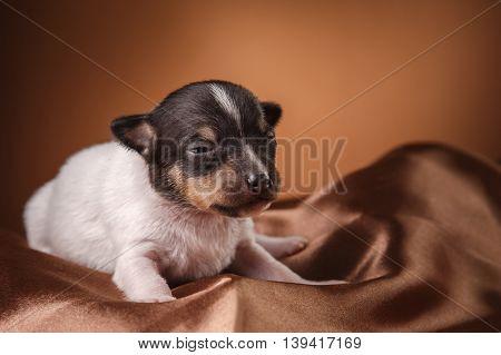 Dog Breed Toy Fox Terrier Puppy