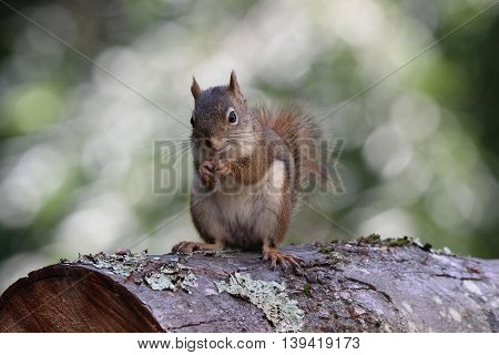 An American red squirrel sitting on a log eating food and looking happy.