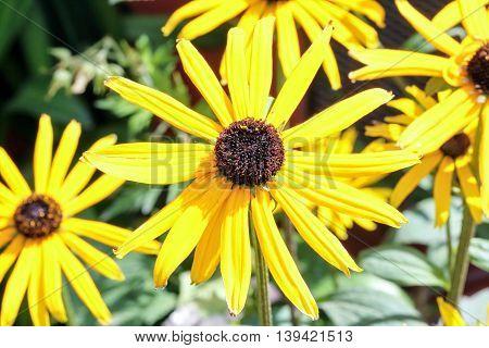Blackeyed susan Rudbeckia Flower outdoor garden daylight