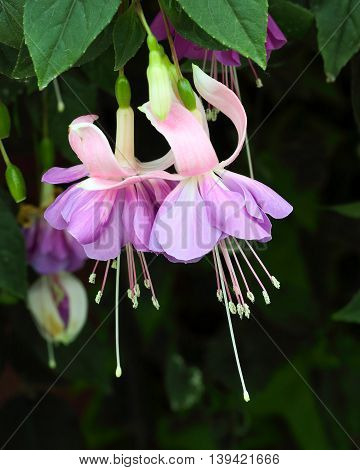 fuchsia flower in the garden outdoor daylight