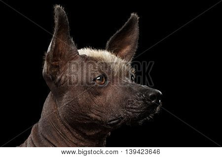 Closeup portrait of Xoloitzcuintle - hairless mexican dog breed, on Isolated Black background, Sad eyes, Profile view