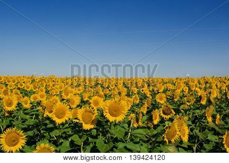 Field of yellow sunflowers and blue summer sky