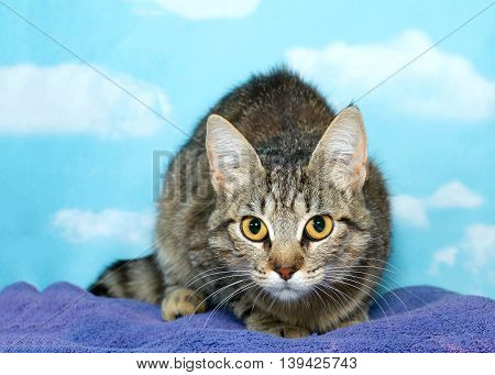 Small adult female tabby cat crouched down front view face and eyes looking straight ahead at viewer. On purple blanket with cloud pattern on blue background.