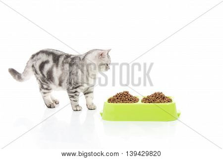 American Short hair cart looking cat food in bowl on white background,isolated