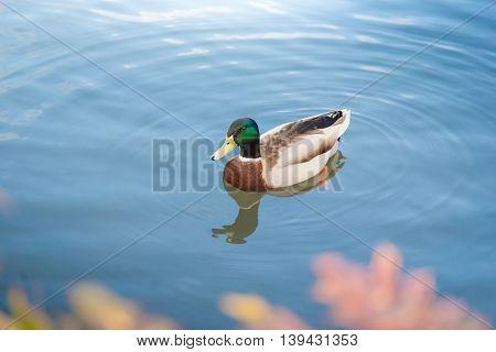 Close up Male mallard duck (Anas platyrhynchus)