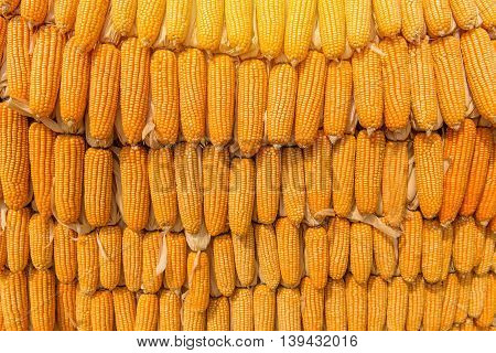 Sweet Corn Of Agricultural Products In Farm