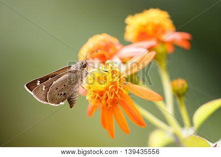 Skipper Butterfly in a garden in Kerala, India