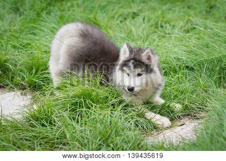Siberian husky puppy sitting on green grass