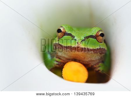 Tree Frog in a Calla Lily Flower