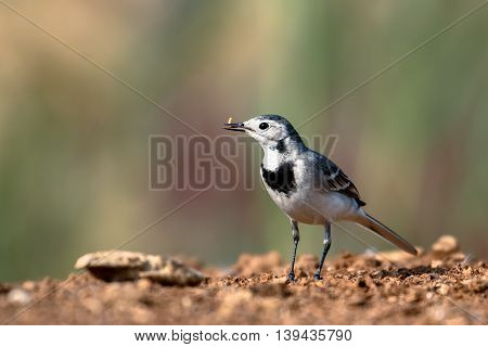 White Wagtail or Motacilla Alba with a worm in a farm in Bahrain