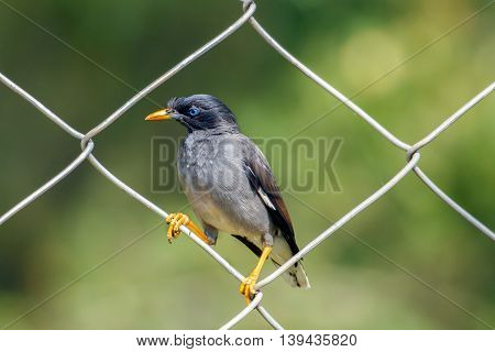 Jungle Myna or Acridotheres fuscus sitting on a fence at the Chinnar Wildlife Sanctuary in Marayoor near Munnar, Kerala, India