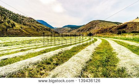 Rows of Hay on a hay field along Highway 8 between Merritt and Spences Bridge in British Columbia, Canada
