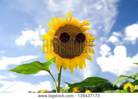Sunflower with glasses growing up in the field in Sunny weather